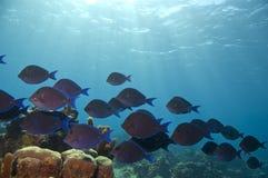 School of blue tang and sunbeams. Sunbeams on school of blue tang in caribbean sea near roatan Stock Image