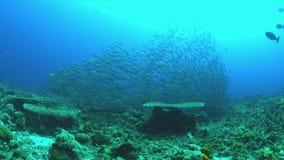 School of Blue Trevallies on a coral reef. 4k. School of Blue Trevallies on a coral reef.  Carangidae - Carangoides ferdau, 4k footage stock video