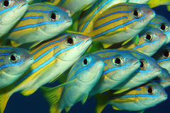 School of Bluelined Snappers Royalty Free Stock Photos
