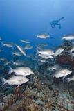 School of Bluescale emperorfish. Stock Photography