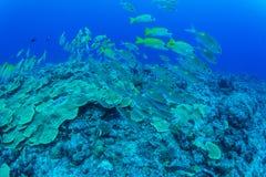 School Bluestripe snapper. In bule under water Royalty Free Stock Image
