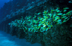School of Bluestripe Snapper - GE PLant Pipe Oahu Stock Photos
