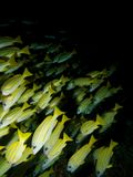 School of Bluestripe snapper. Wide-angle shot of a School of Bluestripe snapper Royalty Free Stock Images