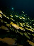 School of Bluestripe snapper. Wide-angle shot of a School of Bluestripe snapper with a diver's torch visible in the background Royalty Free Stock Photo