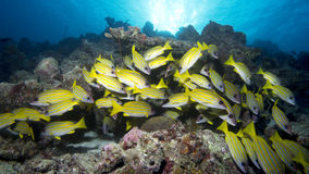 School of Bluestripe snappers. In the tropical waters of the indian ocean Royalty Free Stock Photos