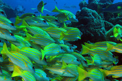 School of Bluestripe Snappers Stock Photography