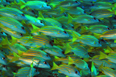 School of Bluestripe Snappers Stock Images