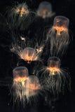 School of Box Jellyfish. Over dark background stock photography