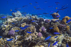 School of bright blue fishes over coral reef Stock Photo
