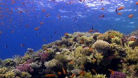 School of bright orange color fish in coral reef underwater Red sea. Relax video about marine nature on background of beautiful lagoon stock video
