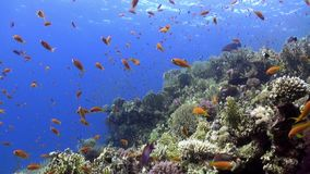 School of bright orange color fish in coral reef underwater Red sea. Relax video about marine nature on background of beautiful lagoon stock video footage