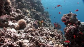 School of bright orange fish on clean blue background underwater Red sea. Colorful world of wild marine nature in beautiful lagoon. Awesome video of wildlife stock video footage