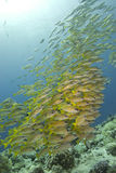 School of bright yellow fish in the blue stock photos