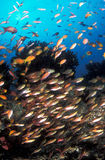 A school of brightly colour fish swimming past a reef. A school of tropical fish swimming round a silhouetted reef in a clear, blue, ocean Stock Photos