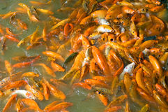 School of Brocarded carp. Overhead view of orange brocarded carp feeding in water Stock Images