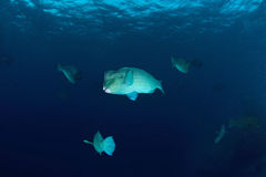 School of bump-head parrot fish Stock Photos