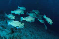 School of bump-head parrot fish Stock Photo
