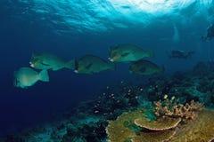 School of bump-head parrot fish Stock Photos