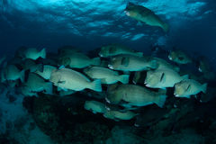 School of bump-head parrot fish Royalty Free Stock Photos