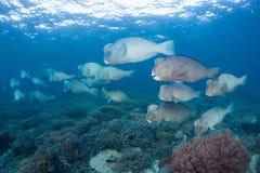 School of bumphead parrotfish Bolbometopon muricatum Swimming Stock Photo