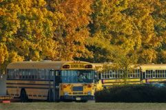 School buses at end of day. The school buses lined up waiting for children to board for the ride home. Beautiful autumn trees line are seen in the background stock images