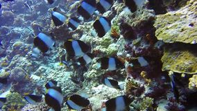 School of butterfly fish on background drop off reef of clear seabed underwater. stock footage