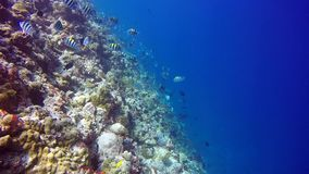 School of Butterfly fish on background Drop off reef of clear seabed underwater. stock video footage