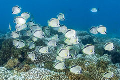 School of butterfly fish on corals. Butterfly fish underwater close up portrait royalty free stock image