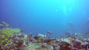 School of cardinalfish on background of clear seabed underwater in Maldives. stock video