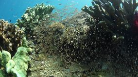 School of Cardinalfish and Sweepers in Raja Ampat. A thick school of sweepers and cardinalfish hovers on a healthy coral reef in Raja Ampat, Indonesia. This stock footage