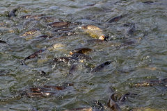 School of carp fish hatchery Royalty Free Stock Photo