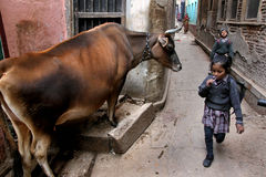 School Children. Going from the distance of  a cow in the by-lane of Varanasi Stock Photos