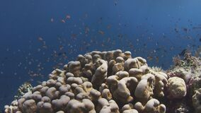 School of  Chromis Damsel, Chromis sp, swiming  in th coral reef. Millions of Chromis Damsel, Chromis sp, hiding in a coral , WAKATOBI, Indonesia, slow motion stock footage