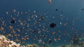 School of  Chromis Damsel, Chromis sp, swiming  in th coral reef. Millions of Chromis Damsel, Chromis sp, hiding in a coral , WAKATOBI, Indonesia, slow motion stock video footage