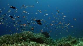 School of  Chromis Damsel, Chromis sp,swimming in the blue water. School of  Chromis Damsel, Chromis sp, swimming in the blue water , WAKATOBI, Indonesia, slow stock video