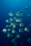 A School of Circular batfish (Platax orbicularis) Stock Images