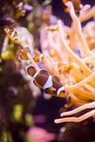 A School of Clownfish Stock Photos