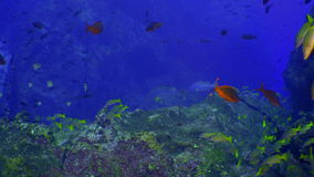 School colored fish swims in reef and in blue sea. School colored fish swims over rocky reef and in blue sea, Caribbean Cocos Costa Rica. Underwater landscape stock footage