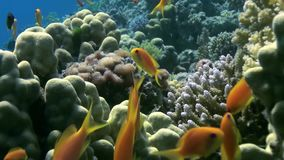 School of colorful fish on background of coral reef landscape underwater. Swimming in world of beautiful seascape. Wild nature. Abyssal relax diving stock video