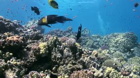 School of colorful fish on background of coral reef landscape underwater. Swimming in world of beautiful seascape. Wild nature. Abyssal relax diving stock video footage