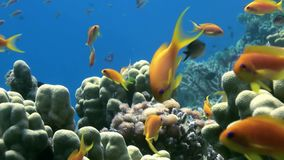 School of colorful fish on background of coral reef landscape underwater. Swimming in world of beautiful seascape. Wild nature. Abyssal relax diving stock footage