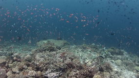 School of colorful fish on background corals underwater in sea of Maldives. stock footage