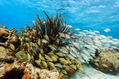 School of colorful fish on coral reef in Hol Chan Stock Photos