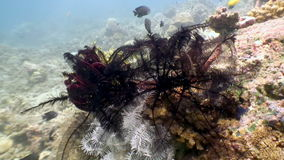 School of colorful fish and Red sea lily underwater in ocean Philippines. stock video footage