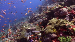 The school of colorful fish on the reef in ocean. Amazing, beautiful underwater world Bali Indonesia and  life of its inhabitants, creatures and diving stock video footage
