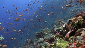 The school of colorful fish on the reef in ocean. Amazing, beautiful underwater world Bali Indonesia and  life of its inhabitants, creatures and diving stock footage