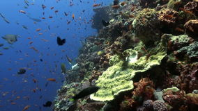 The school of colorful fish on the reef in ocean. Amazing, beautiful underwater world Bali Indonesia and  life of its inhabitants, creatures and diving stock video