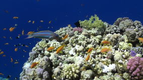 School of colorful fish underwater on background bright green corals in Red sea. stock footage