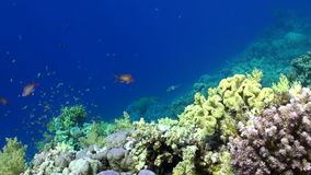 School of colorful fish underwater on background bright green corals in Red sea. stock video footage