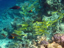 School of Common bluestripe snapper Stock Photography